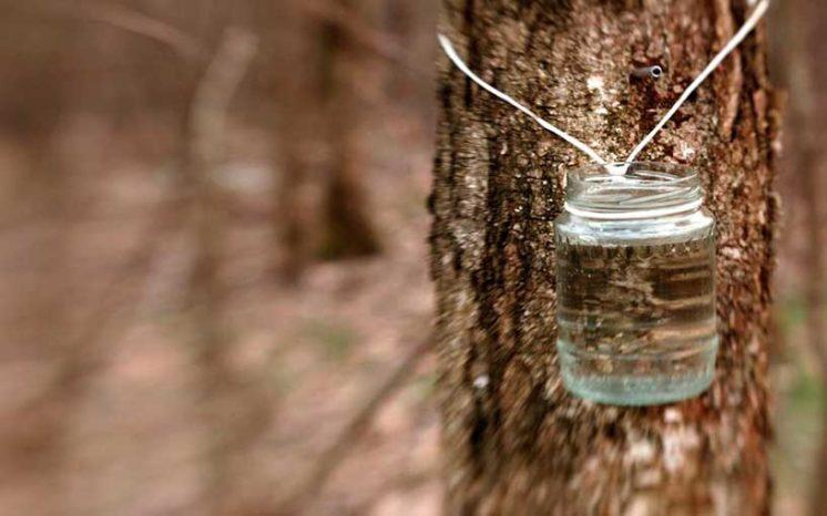 Березовый сок польза и вред, состав, полезные свойства, как собирать?
