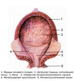Функции мочевыделительной системы